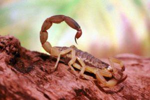 dedetizadora de escorpião~es