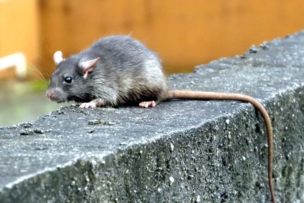 dedetizadora dedetizacao ratos
