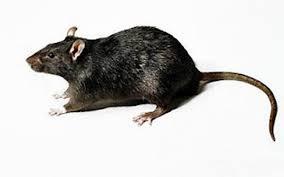 desratização de ratos